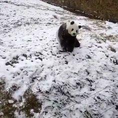 Pandas are just like little kids! Tag an animal lover 🐼 Video by ©青春年华陶陶 ❄️ Panda Bear, Polar Bear, Animals Beautiful, Mammals, Creatures, Cute, Kids, Butterflies, Instagram