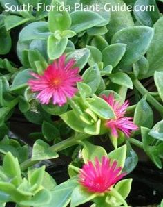 What's the best groundcover for hot, hot sun? Meet baby sun rose, an easy-care plant that thrives in hot, dry, sunny areas. Potted Plants For Shade, Plants For Hanging Baskets, Sun Loving Plants, Sun Plants, Cacti And Succulents, Plants Indoor, Butterfly Garden Plants, Ferns Garden, Lawn And Garden