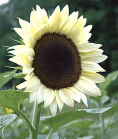"Sunflower, Coconut Ice Hybrid. There is something new under the sun, and it's this extraordinary new white sunflower. Standing 5'-6' tall the single-headed flowers with black centers are 4""-8"" across. The petals start out a rich creamy vanilla and gradually transition to white.   Stunning, so pretty!!"