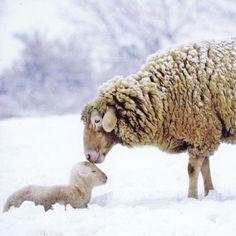#Christmas #winter snowy  #photography Sheep kissing her baby lamb ToniK Joyeux Noël