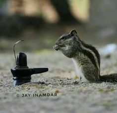 A squirrel worshipping Lord Shiva's shivlinga Rudra Shiva, Mahakal Shiva, Shiva Statue, Shiva Angry, Ganesh Lord, Shiva Linga, Lord Shiva Hd Images, Lord Shiva Hd Wallpaper, Lord Shiva Family