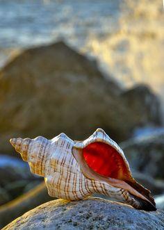 Sea shells, a wonder of nature . Shell Beach, Ocean Beach, Ocean Life, Marine Life, Sea Creatures, Under The Sea, Beautiful Beaches, Starfish, Sea Shells