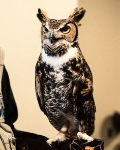 Meet Orion, a Great Horned Owl that is part of Fontenelle Forest's Raptor Recovery education program.