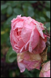 Withering roses in the fall