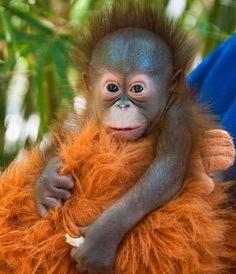 Baby orangutan with orangutan stuffed toy