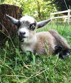 I can't handle the cute. #goat #goats #goatsofinstagram #milkbarnfarm