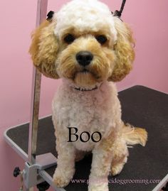 Advice and guidance on how to groom your cockapoo includes examples torrance best dog grooming shop specializes in japanese dog styling solutioingenieria Gallery
