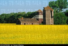 Old barns and canola field, Carberry, Manitoba, Canada.