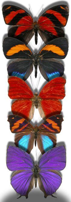 Callicore cynosura - Peru  Callicore pastazza - Peru  Cymothoe Sangaris - Central African Republic  Epiphile orea negrina - Peru  Arhopala hercules - Indonesia  Peruvian butterflies