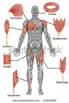 VFA - Anatomy of male muscular system - posterior view of type muscle - full body