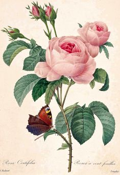 Provence Rose, Rosa centifolia, by by Pierre-Joseph Redouté, from his Selection of the Most Beautiful Flowers, 1833