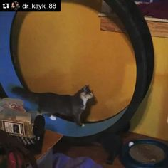 #Princess #Kaiyo is so smart, she learned how to use #OneFastCat exercise wheel on her own within hours of assembly  @one_fast_cat we love our wheel so much!! #KaiyoKalyciiKaycen #KingDaimi #Rescue #Cats #Kittens   Check out the Cat Exercise Wheel at: www.onefastcat.com