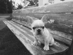 French bulldog. Boss. 10 weeks. #frenchiepuppy