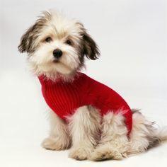 Bichon Havanaise Wearing Red Sweater