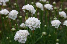 Die nelkenartigen Blüten und das grasartige, immergrüne Polster geben der Gattung ihren deutschen Namen. Weiße Blüten, besonders hübsch gepflanzt mit Aster alpinus.