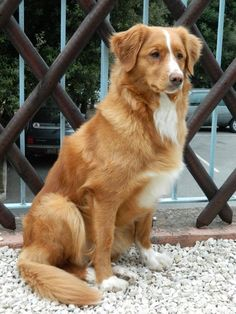 Nova Scotia Duck Tolling Retriever Fantasia