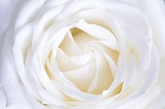 white rose close up photography Rose Images, Rose Pictures, Rose Photos, Flower Images, Flower Photos, Beauty Photos, Hd Images, White Rose Flower, Black Flowers