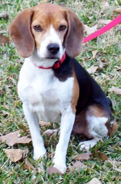 - Rob -   Please share our photos and visit our website to see all of our adoptable beagles.