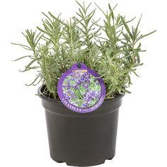 Lavandula angustifolia 'Hidcote' pot 1.5 liter   Maréchal