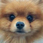 """385 Likes, 10 Comments - London Fluffy (@londonfluffy) on Instagram: """"Fin du week-end... #pomeranianworld #pomlover #pomeranianofinstagram #instadog #puppy #love…"""""""