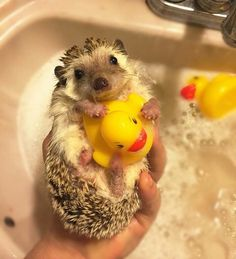 Cute and funny hedgehog videos compilation 2017 - funny animals . Hedgehog Pet, Cute Hedgehog, Cute Little Animals, Cute Funny Animals, Funny Animal Photos, Animal Pictures, Hamsters, Cute Creatures, Animals Beautiful