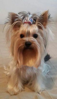 The Feisty Yorkshire Terrier Dogs Size Biewer Yorkie, Teacup Yorkie, Yorkie Puppy, Yorkies, Samoyed Puppies, Lab Puppies, Yorkshire Terrier Haircut, Yorkshire Terrier Puppies, Small Dog Breeds