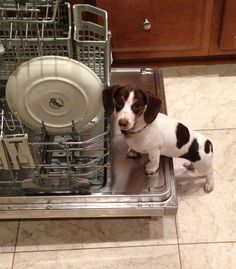Dachshunds are fascinated by dishwashers!