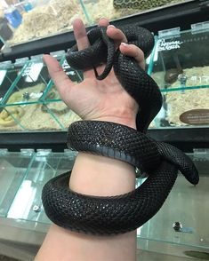 Raven is one of my favorites out of the collection :) Fake Friends, New Friends, Mexican Black Kingsnake, Boa Constrictor, Ball Python Morphs, Pet Snake, Human Babies, Reptiles And Amphibians, Black Mamba