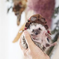 Funny Animal Jokes, Funny Animal Videos, Cute Funny Animals, Baby Animals Pictures, Cute Animal Pictures, Animals And Pets, Hedgehog Pet, Cute Hedgehog, Baby Animals Super Cute