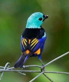 Seven coloured Tanager