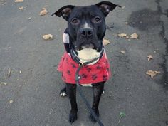 SAFE 1/2/15!  Was TO BE DESTROYED - 12/27/14 Manhattan Center -P  My name is SLUSHIE. My Animal ID # is A1020481. I am a male black and white pit bull mix. The shelter thinks I am about 3 YEARS old.   For more information on adopting from the NYC AC&C, or to  find a rescue to assist, please read the following: http://urgentpetsondeathrow.org/must-read/
