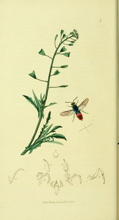 .v. 4 - British entomology, By John Curtis. Publication info: London : 1823-40 - via Biodiversity Heritage Library