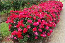 double knockout rose bushes.  Can't wait to get a couple of these and plant them in my flower bed!  Blooms from Spring to Fall....no need to trim of old or dead flowers.  Fail proof practically!