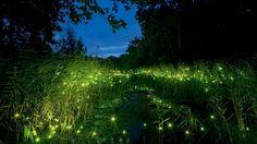 Contemplez la féerie de ce parc chinois illuminé par des milliers de lucioles une fois la nuit tombée | SooCurious
