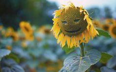 Słonecznik, Uśmiech