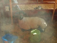 PT 33 JULY 2014 CALDWELL IDAHO CANYON COUNTY FAIR. GOAT IN SUNLIGHT. MAKING IT OUT OF FOCUS.
