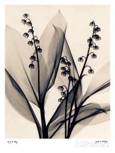 Liljekonvalj - Posters av Judith Mcmillan på AllPosters.se