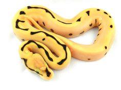 Super Orange Dream Fire Spider Yellow Belly.  World of Ball Pythons.