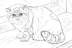 Exotic Shorthair Cat Coloring Page From Cats Category Select 30465 Printable Crafts Of Cartoons Nature Animals Bible And Many More