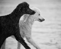 Black and white poodles moving in unison.  So beautiful. Too bad all poodles aren't cut like this. Everyone would like them so much more!