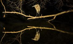 Heron reflection on the C&O canal