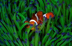 A clownfish hides in anemone in this National Geographic Your Shot Photo of the Day.