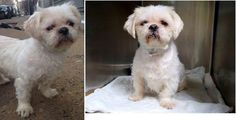 """RESCUED by Reefuge Rescue!!! Waaahooo!!! Thank you RR!!! Long, happy life Sweetheart!BEYOND URGENT!!! PTS AT ANY TIME!!! Brooklyn, NY; ; """"Tobias"""" Terrified, Lhasa Apso/Shih Tzu X w/Right Eye Very Dry & Cloudy, Possibly Vision Diminished or Blind in that Eye **CODE RED** THERE IS NO TIME TO HESITATE AT THIS HIGH KILL SHELTER!!! PLEASE HELP!!!  Just returned to his owners days ago, they have again returned this Sweetheart again to the shelter because of allergies!!! As an owner surrender he…"""