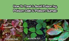 How To Treat & Avoid Poison Ivy, Poison Oak & Poison Sumac Poison ivy, oak and sumac are the leading culprits behind of allergic skin reactions in the United States -- with an estimated 55 million occurrences each year. If you're in the 70 percent or so of the population who is sensitive to …
