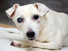 SUPER URGENT 9/13/14 Manhattan Center   SIX FLAGS - A1013951   SPAYED FEMALE, WHITE, JACK RUSS TERR MIX, 10 yrs STRAY - ONHOLDHERE, HOLD FOR OWNER DIED Reason STRAY  Intake condition GERIATRIC Intake Date 09/13/2014, From NY 10035, DueOut Date 09/21/2014,   https://www.facebook.com/Urgentdeathrowdogs/photos/a.617942388218644.1073741870.152876678058553/870750786271135/?type=3&theater