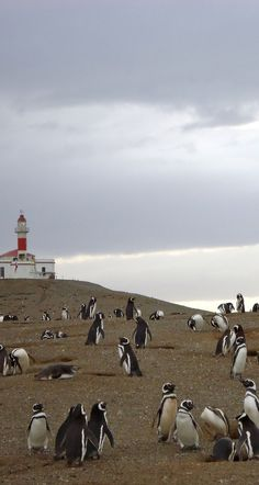 Isla Magdalena, Punta Arenas, Chile. Southern penguins…hmm I wonder if they have an accent!