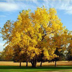 Black Walnut Trees for Sale – FastGrowingTrees.com