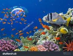 Coral And Fish In The Red Sea. Egypt. Стоковые фотографии 376326673 : Shutterstock