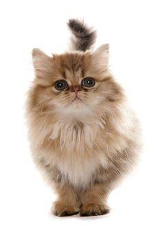 Persian golden Kitten | Flickr - Photo Sharing!