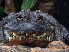 Alligator Smile by melixana